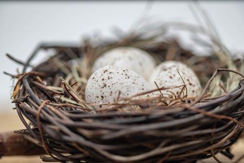 Fotobanka sbezplatnými fotkami na tému hniezdo, vajcia, vtáčie hniezdo