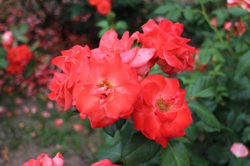 Photos gratuites de botanique, centrale, date, datte