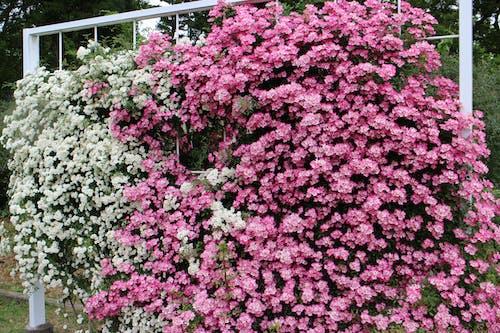Free stock photo of arc, asia, blossom