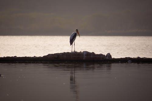 Free stock photo of alone, animals, birds, crane