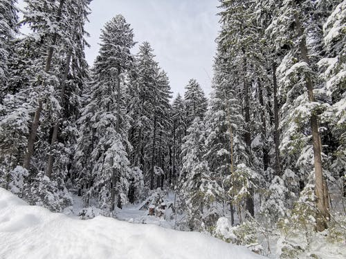 Photography Of Snow Covered Pine Trees