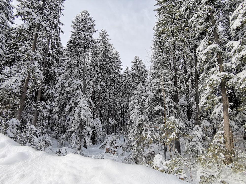 arboles, bosque, congelado