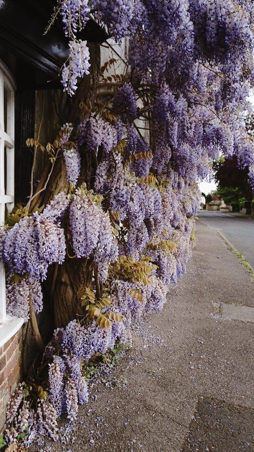 Gratis stockfoto met blauweregen, bloemen, fabriek, flora