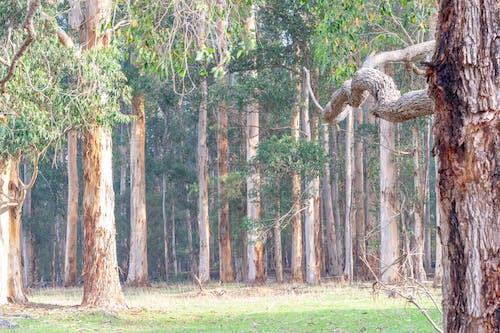 Kostnadsfri bild av buske, eukalyptusträd, grenar, grönt gräs