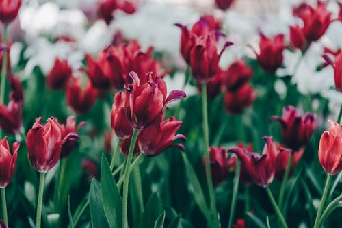 Free stock photo of flowers, natural, red, red tulips