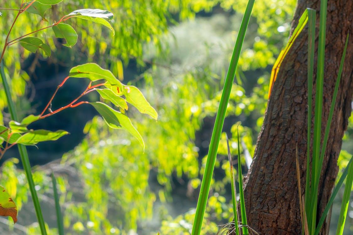 bokeh, busk, eucalyptus blade