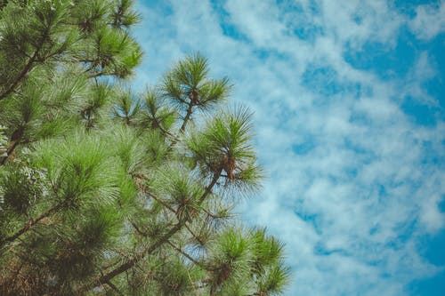 Low Angle Photo Pine Tree Under Cloudy Sky