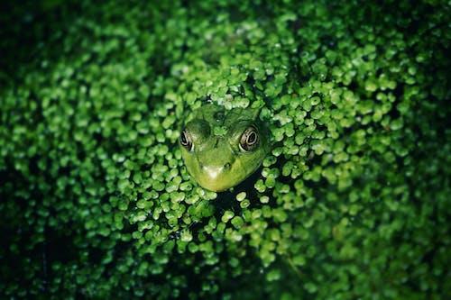 Imagine de stoc gratuită din amfibian, animal, biologie, broască