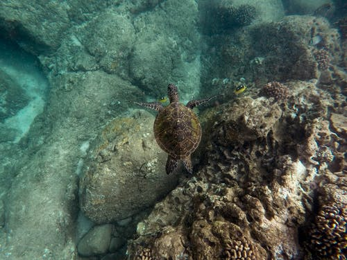 Black sea turtle swimming near a shallow coral reef