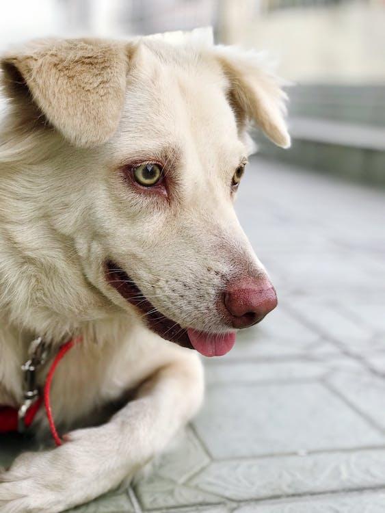 Short-coat Beige Dog Lying on Grey Surface