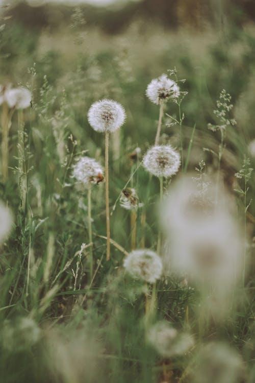 Ảnh lưu trữ miễn phí về bồ công anh, cánh đồng, hệ thực vật, hoa