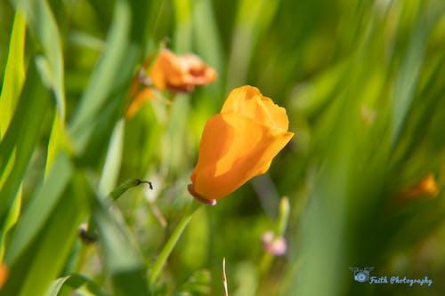 Ảnh lưu trữ miễn phí về cánh đông hoa, hoa anh túc, hoa dại, màu xanh lá