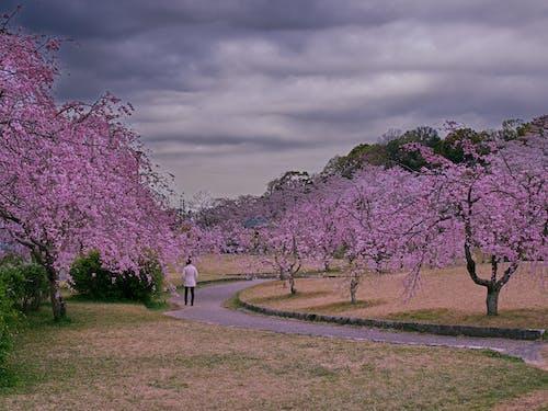 Foto stok gratis alam, apel mekar, awan, bagus
