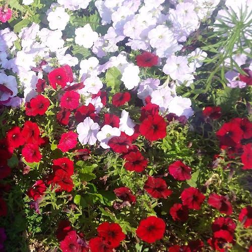 Kostnadsfri bild av bunter av blommor, säng av blommor, vackra blommor
