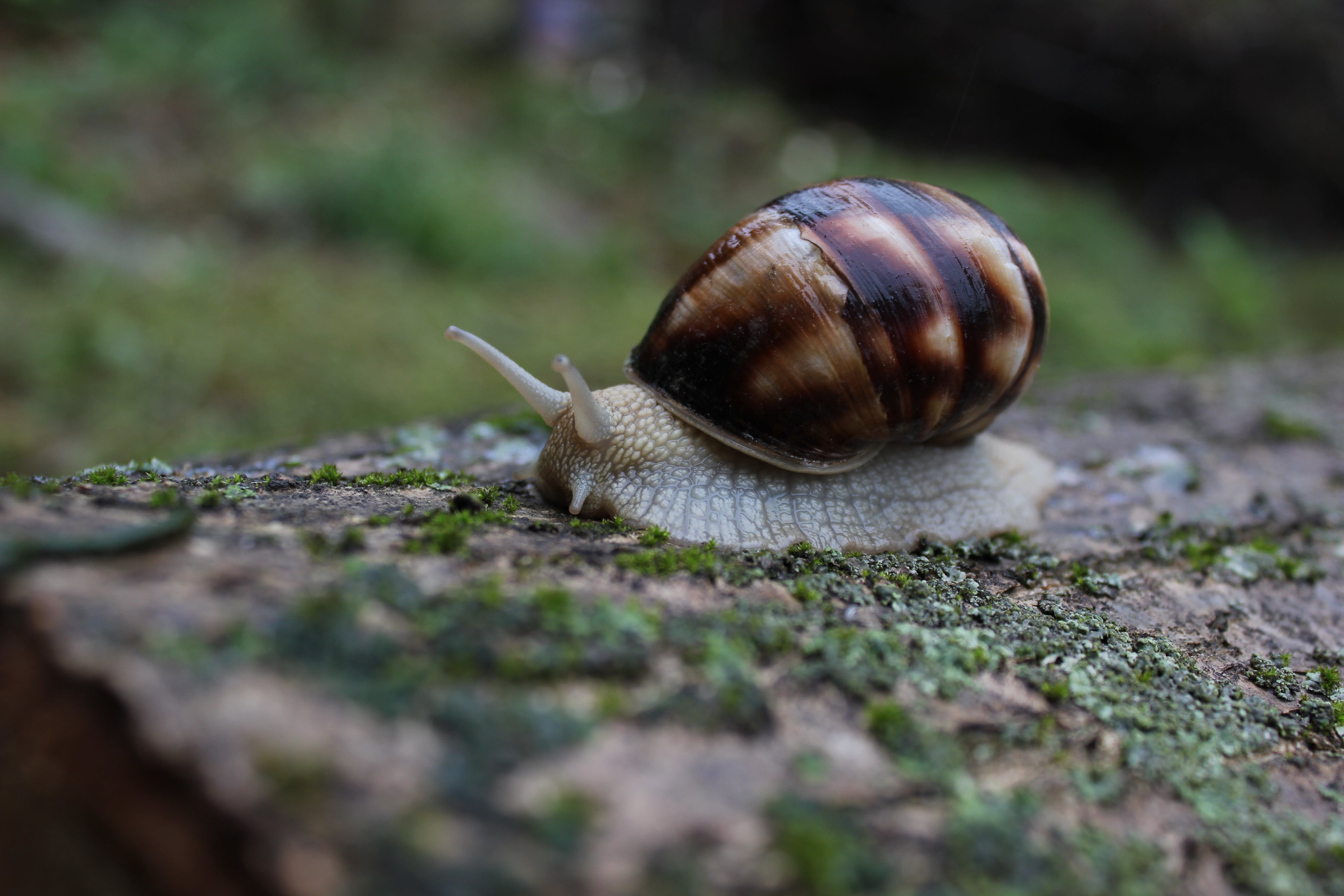 Shallow Focus Photography of Brown and White Snail on Moss