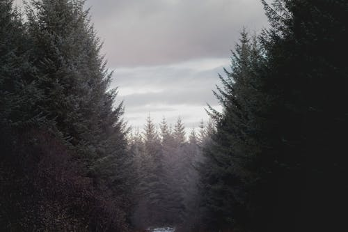 Evergreen trees in winter forest against cloudy sky