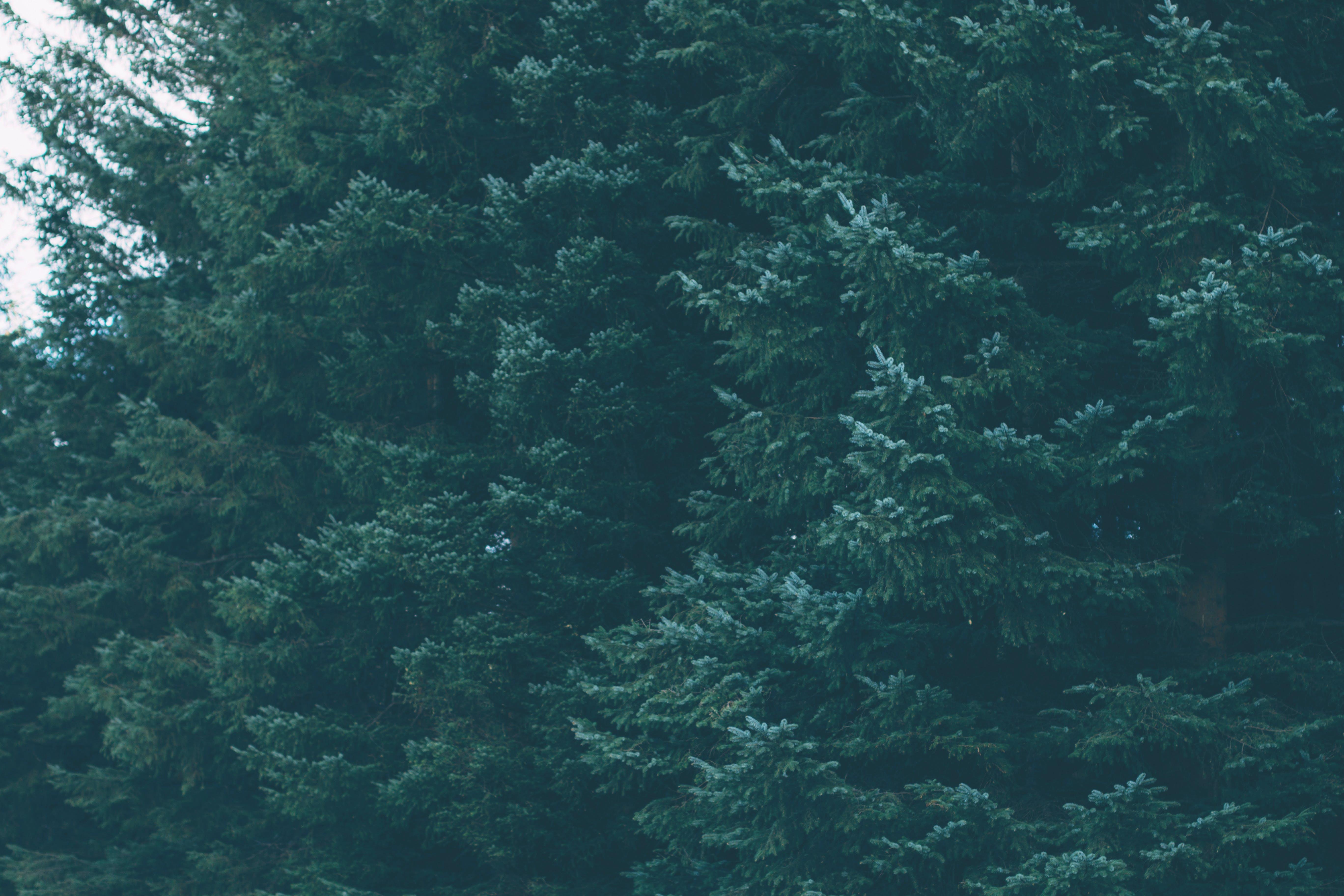 Foto d'estoc gratuïta de arbres, bosc, boscos, conífera