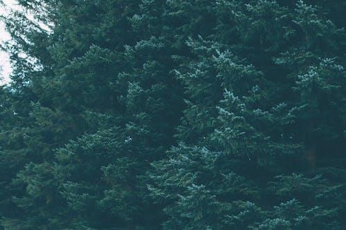 Kostnadsfri bild av barrträd, dagsljus, grön, miljö