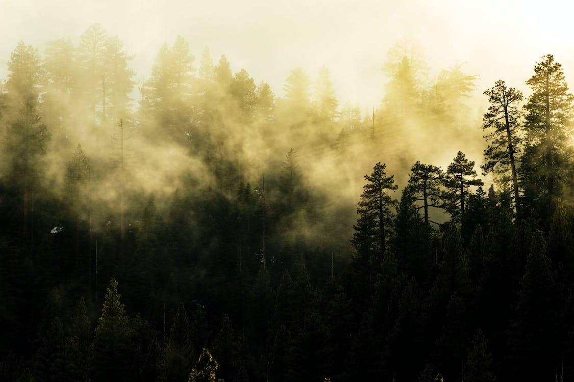 Фото высоких деревьев, покрытых туманом