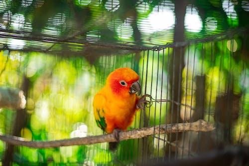 Orange Parakeet
