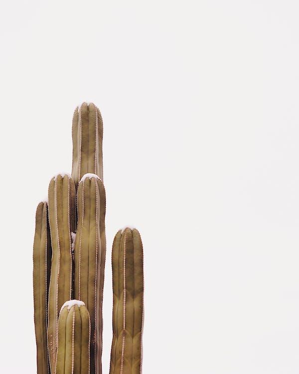 botanický, kaktus, kaktusová rastlina