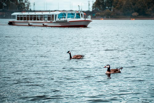 Two Brown Geese on Body of Water