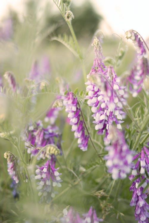 明亮, 植物群, 紫丁香, 綻放的花朵 的 免費圖庫相片