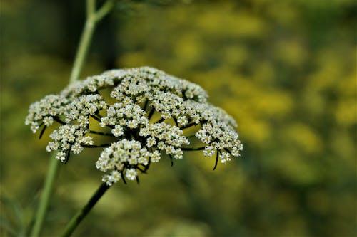 Gratis lagerfoto af fennikel frø