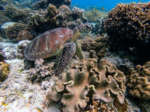 Fotobanka sbezplatnými fotkami na tému divočina, koral, korytnačka, more