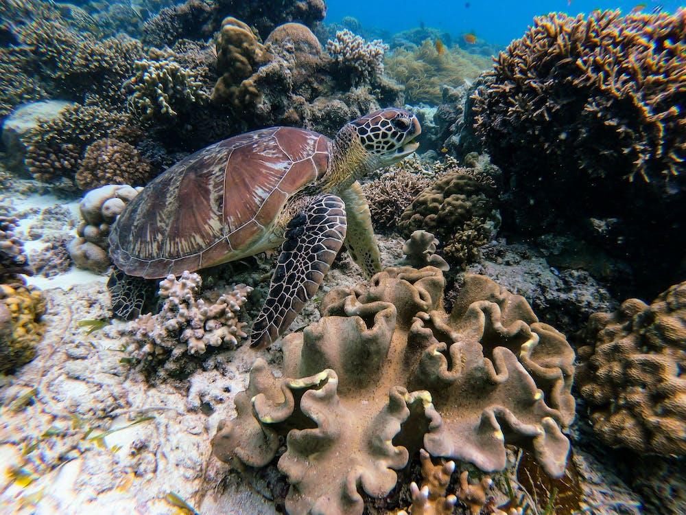 divočina, koral, korytnačka