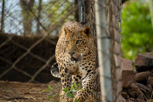 Základová fotografie zdarma na téma divoké zvíře, fotografování zvířat, kočka, kočkovití