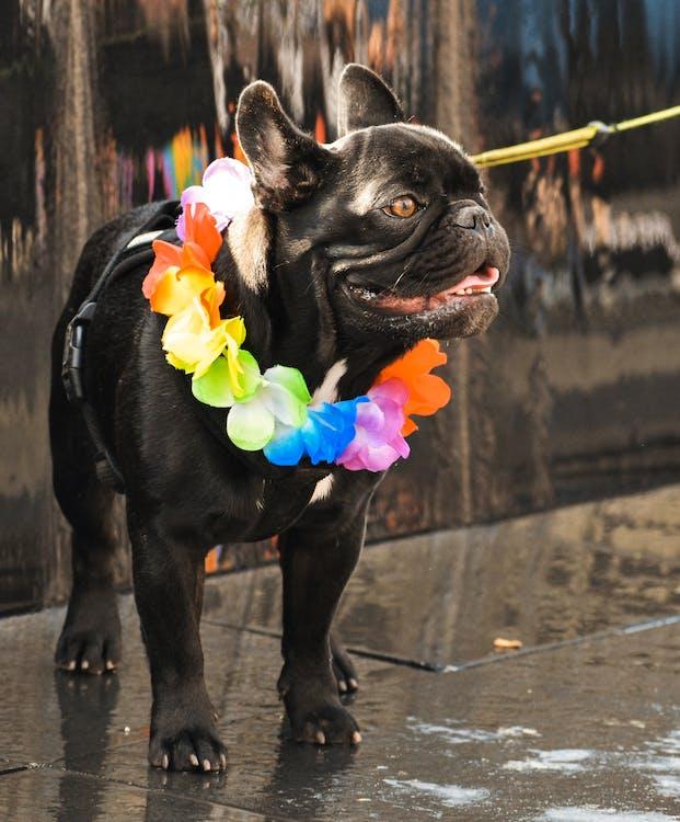 Adult Short-coated Black Dog
