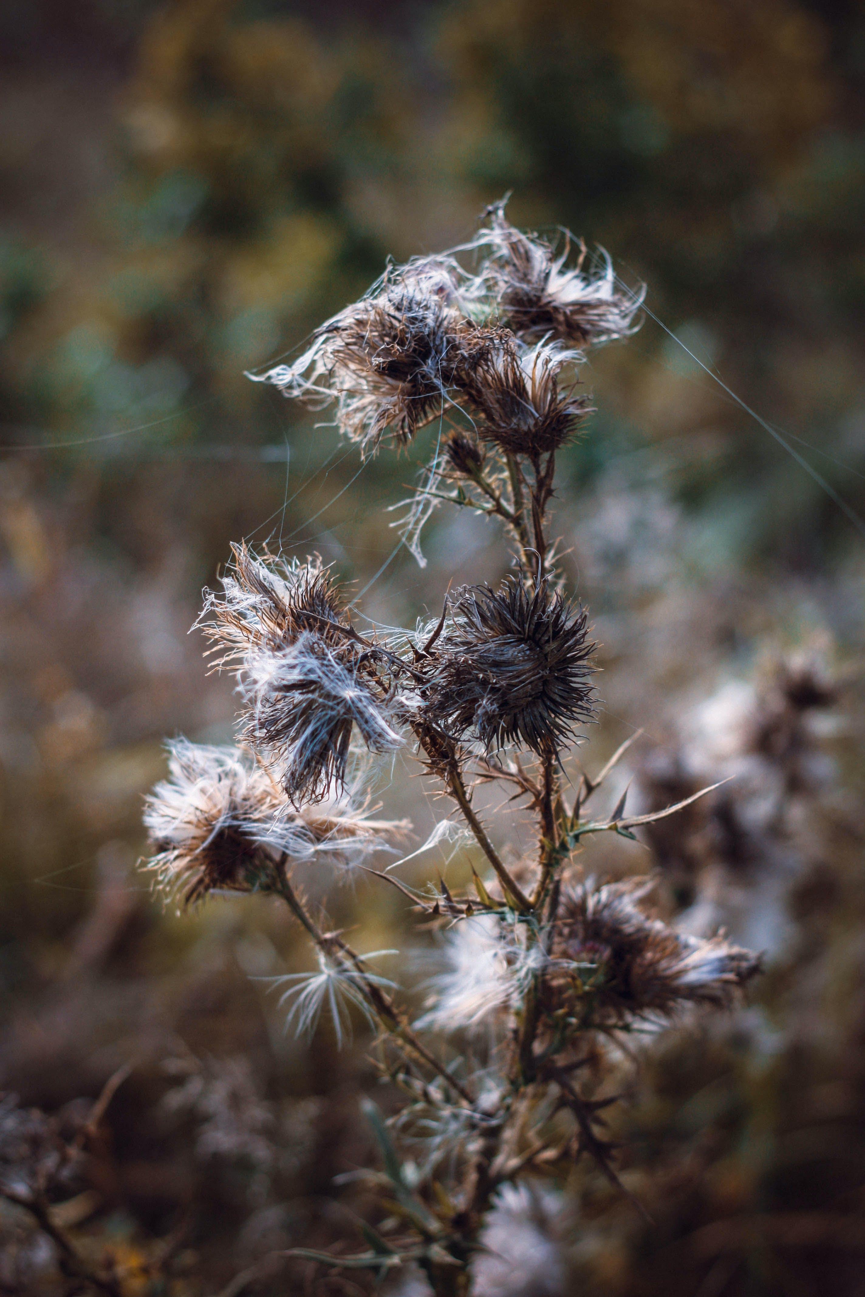 Free stock photo of autumn, flowers, nature, thistle