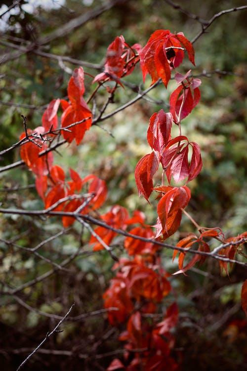 Gratis lagerfoto af natur, rød