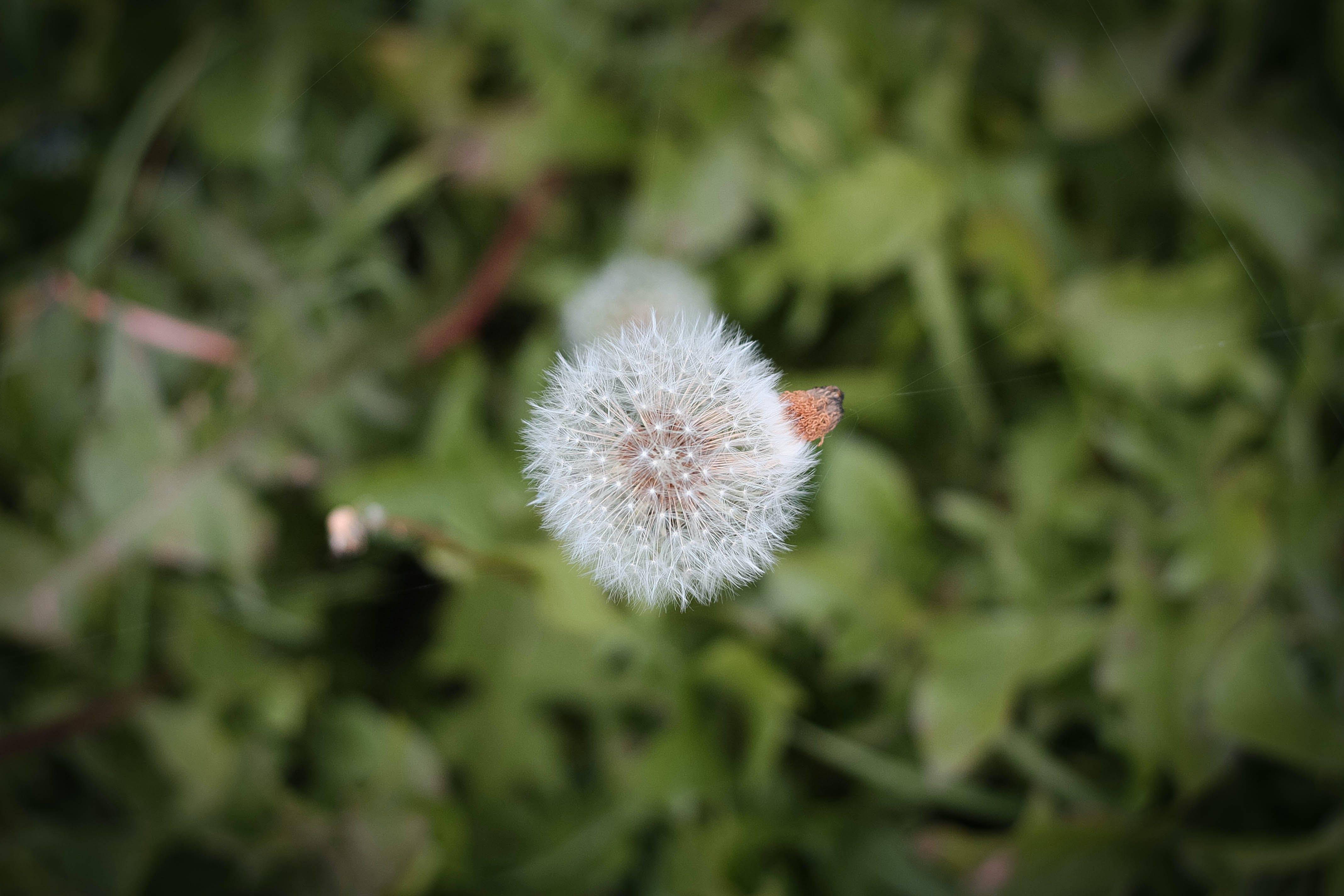 Free stock photo of dandelion, flowers, nature