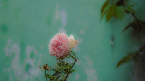 Free stock photo of flower, rose