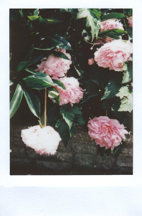 Ảnh lưu trữ miễn phí về cánh hoa, chụp ảnh phim, hệ thực vật, hoa