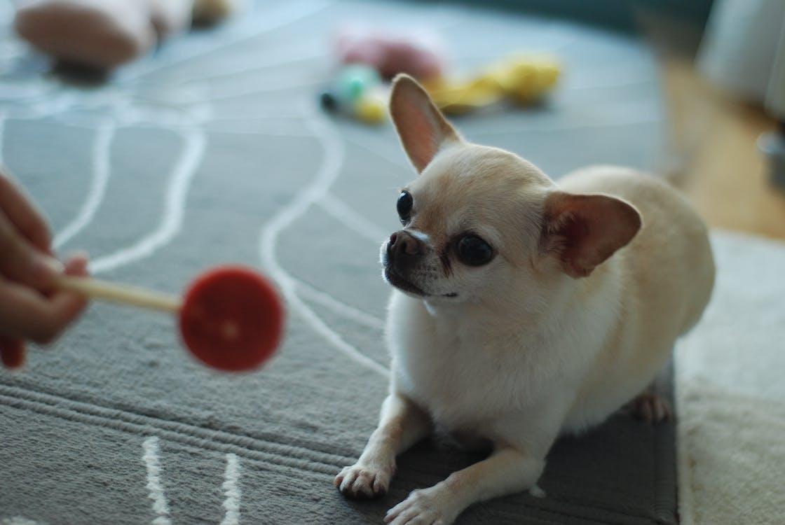 chihuahua, perro