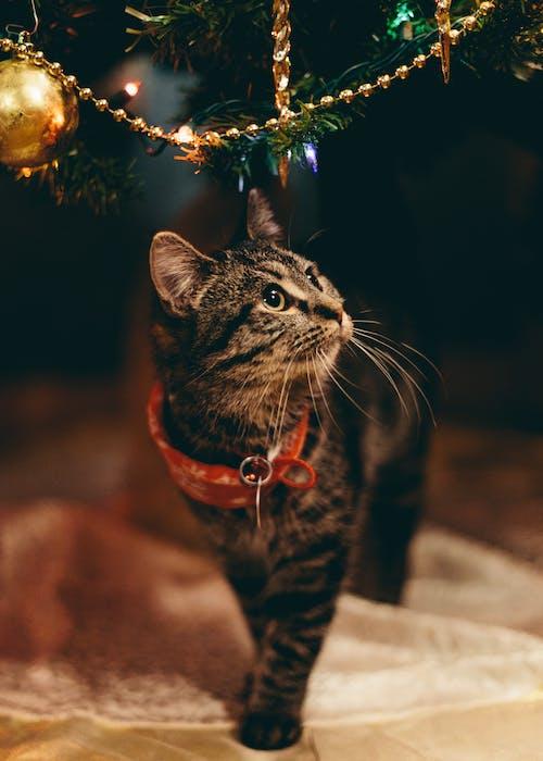 Ilmainen kuvapankkikuva tunnisteilla joulu, kissa, kissanpentu, lemmikki