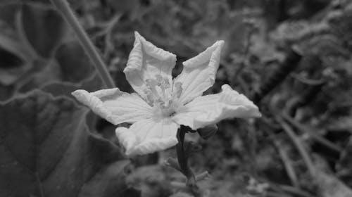 Free stock photo of beautiful flowers, black and white, black and-white, black background