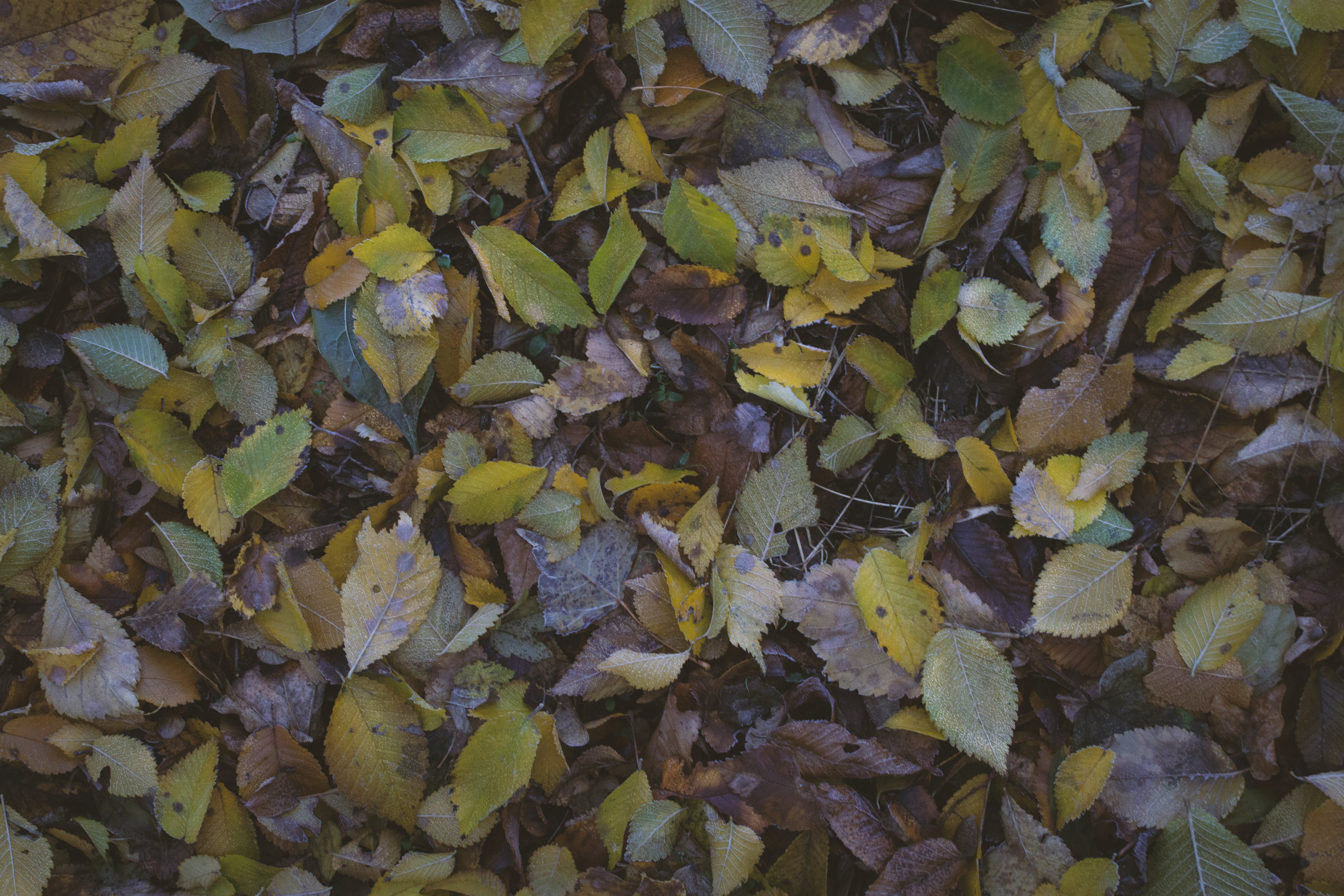 Free stock photo of autumn colours, autumn leaf, fall leaves, frost