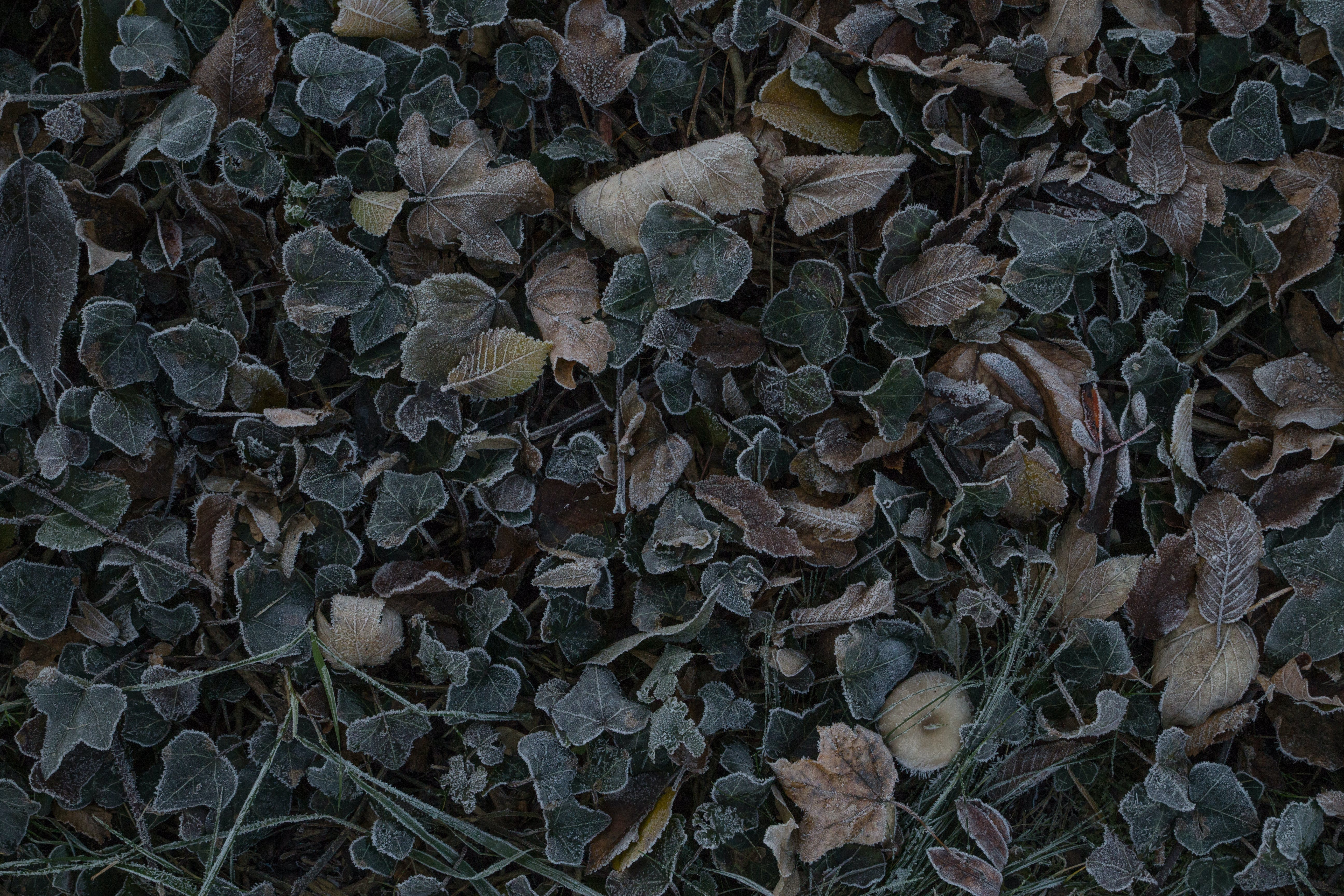 Free stock photo of autumn leaves, brown, dark green, dried leaves