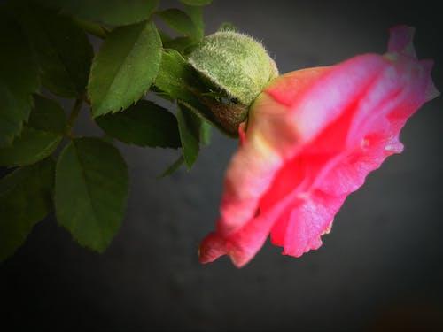 Ingyenes stockfotó 4k-háttérkép, asztali háttérkép, Első virágok, fekete háttér témában
