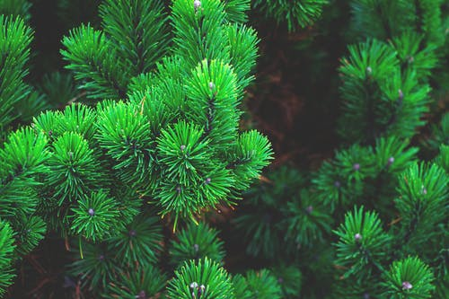 Green Fir Tree in Tilt Shift Lens Photography