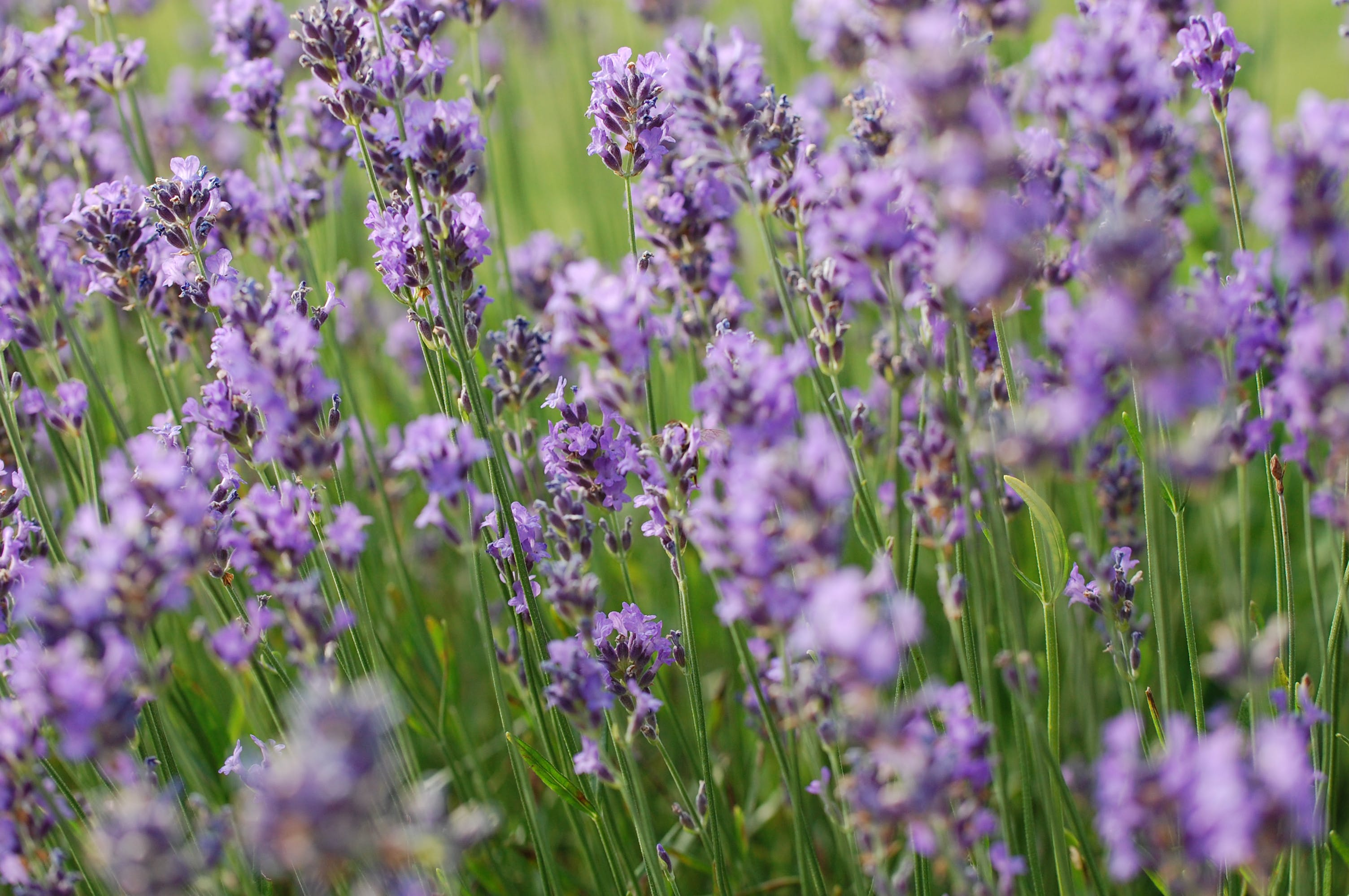Free stock photo of flowers, garden, green, Lavendel