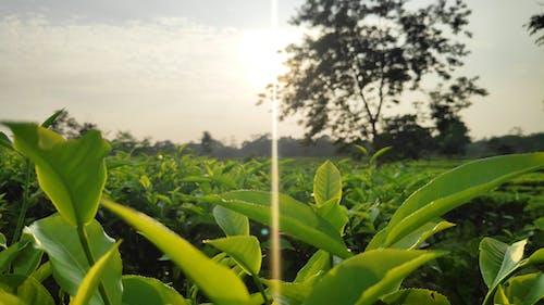 Foto stok gratis alam, matahari, teh