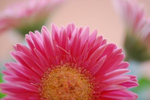 Free stock photo of blur, close up, flower, garden