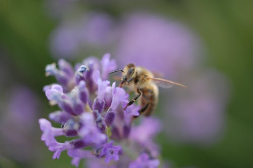 Free stock photo of bee, close up, flower, garden