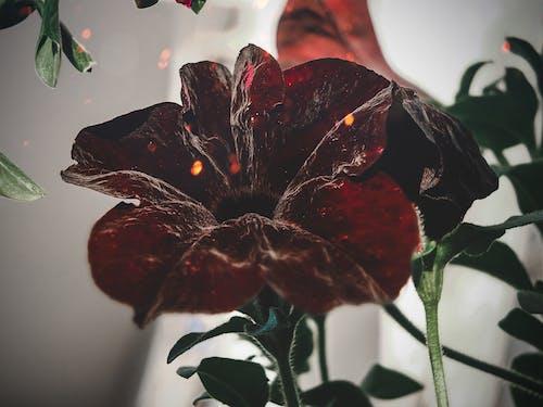 Ingyenes stockfotó fényképész, gyönyörű virág, harangvirág, piros témában