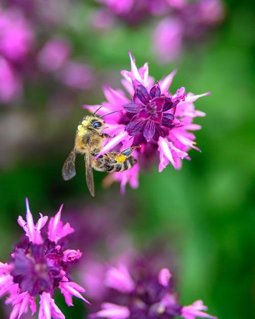 Honey Bee Perching On Purple Cluster Flowers In Selective Focus Photography